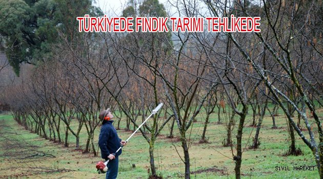 Türkiyede Fındık tarımı Tehlikede